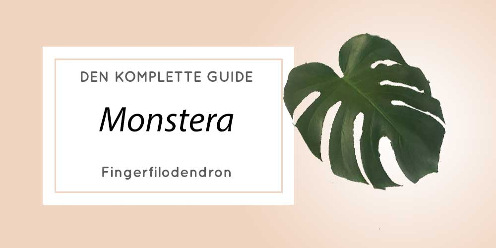 Fingerfilodendron Monstera Deliciosa